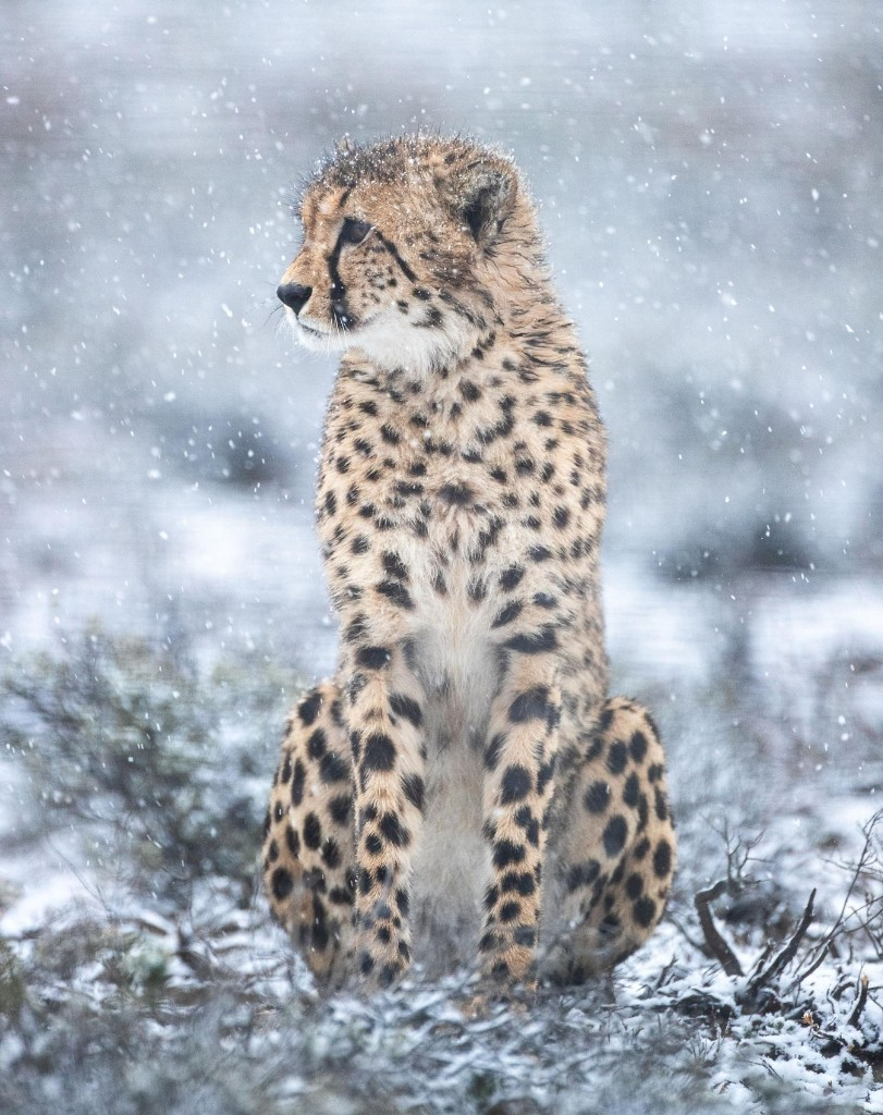 Rare photographs show African cheetahs in snowstorm