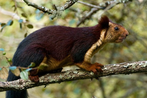 Giant purple squirrels do exist—and they have an odd behavior