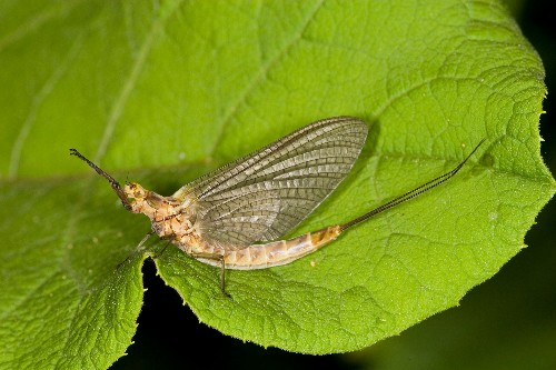 Mayfly numbers drop by half since 2012, threatening food chain
