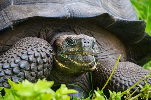 New Giant Tortoise Species Found on Galápagos Islands