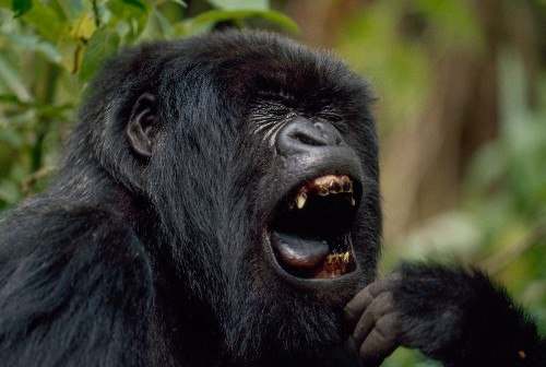 Why Do Plant-Eating Gorillas Have Big, Sharp Teeth?