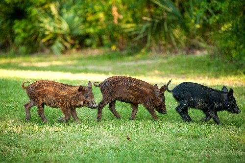 How a 3-Ton Mess of Dead Pigs Transformed This Landscape