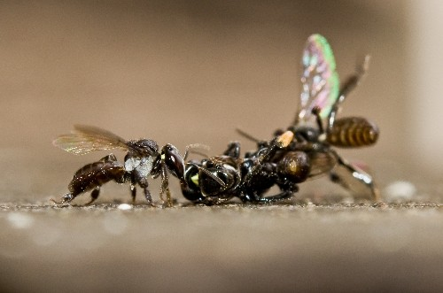 Bees Wage Surprisingly Violent Wars—And Females Do the Fighting