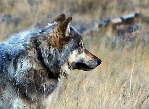 Mystery Grand Canyon Animal Is a Gray Wolf—Can It Survive?