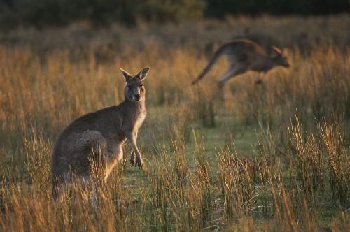 Australians Hunt Kangaroos Commercially. Does It Make Sense?