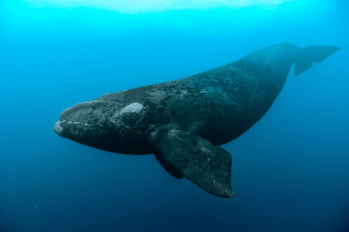 In Unprecedented Loss, Endangered Whales Die of Mysterious Cause