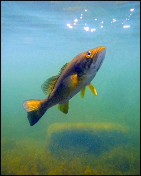 My pet striped Bass in Lac Rond Photo by Algis Kemezys — National Geographic Your Shot