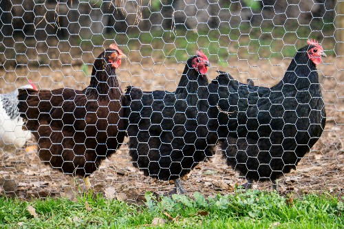 Chicken Farmers Make the Leap From Factory to Pasture