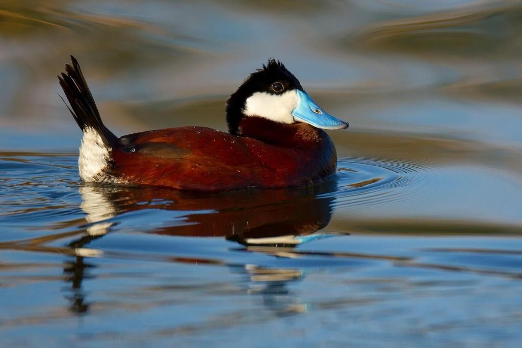 Duck Penises Grow Bigger Among Rivals