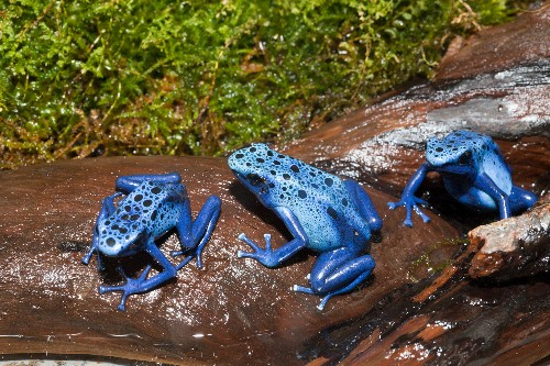 Now We Know Why Poison Frogs Don't Poison Themselves