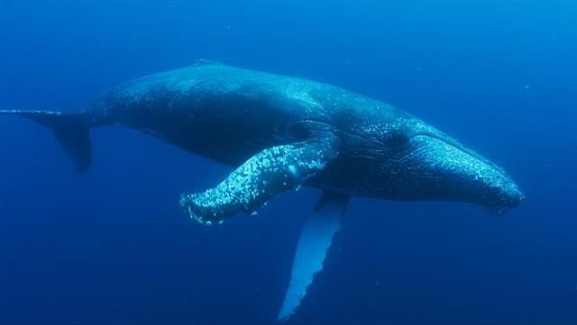 Humpback whales make stunning comeback in southern Africa