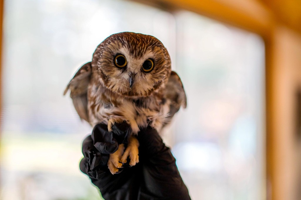 Rockefeller, the viral stowaway Christmas tree owl, to fly free