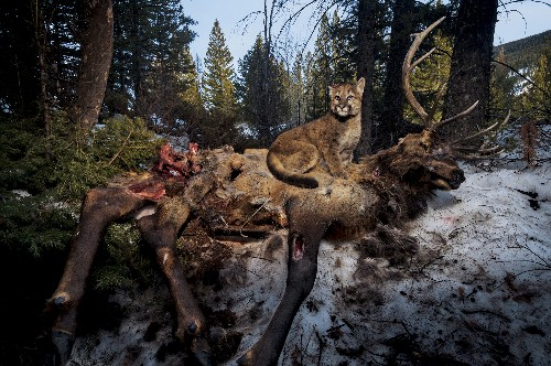 Cougar leftovers are home to hundreds of beetle species
