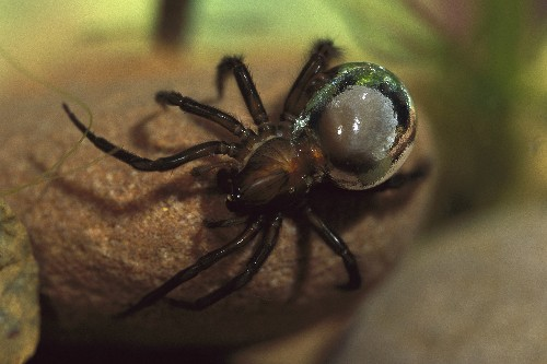 How these spiders use bubbles to live underwater