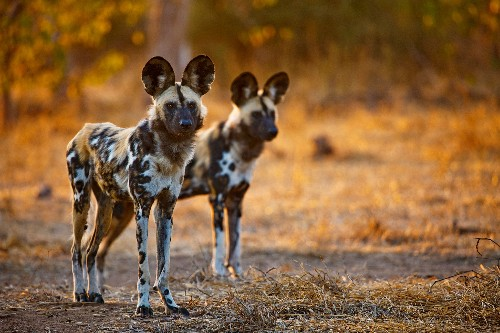 What Wildlife Shows Don't Tell You About African Wild Dogs