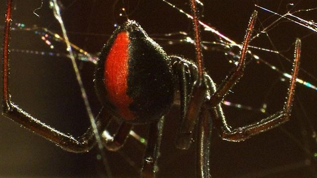 Deadly Cousin: The Redback Spider