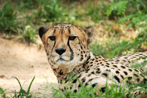Life in the Slow(er) Lane: Revisiting the Long-Lost Giant Cheetah