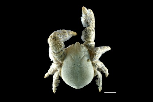 Hairy-Chested Yeti Crab Found in Antarctica