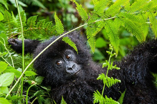 As Mountain Gorillas Bounce Back, Rwanda Names Gorilla Newborns