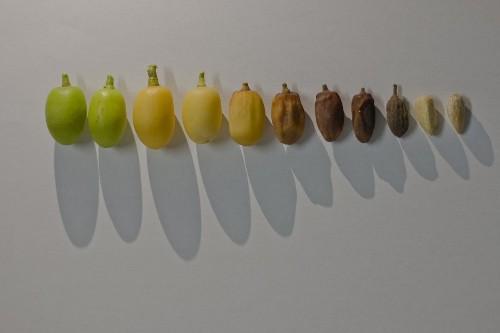 Neem Tree Fruit Photo by Manoj Genani — National Geographic Your Shot