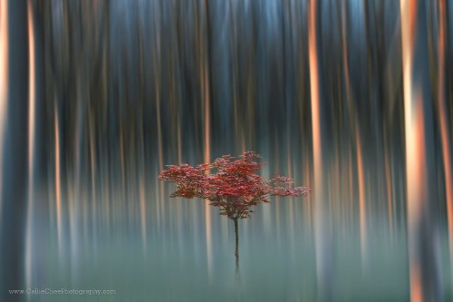 Lone Red Tree Photo by Callie Chee — National Geographic Your Shot