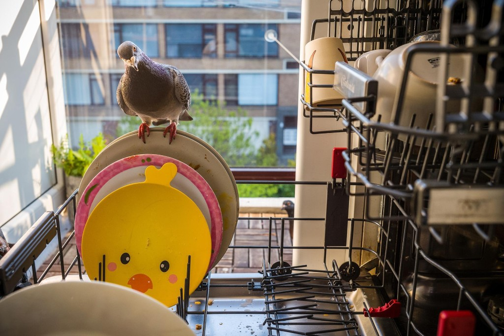 The tale of Ollie and Dollie, a pair of pigeons who befriended a family on lockdown
