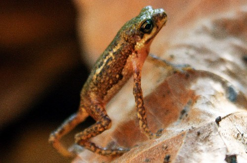 """""""Extinct"""" Amphibians Rediscovered After Nearly Half a Century"""