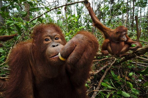 Endangered Orangutans Gain From Eco-Friendly Shifts in Palm Oil Market