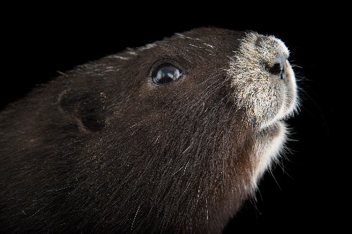 How Canada's Most Endangered Mammal Was Saved
