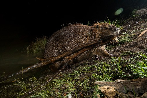 Beavers on the coast are helping salmon bounce back. Here's how.