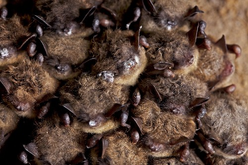 How Killer Fungus Burns Up Bats From the Inside