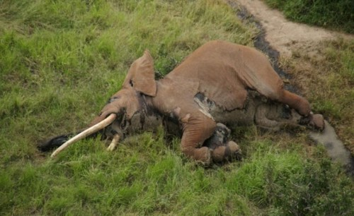One of Africa's Last Great Tusker Elephants May Have Been Killed by Poachers