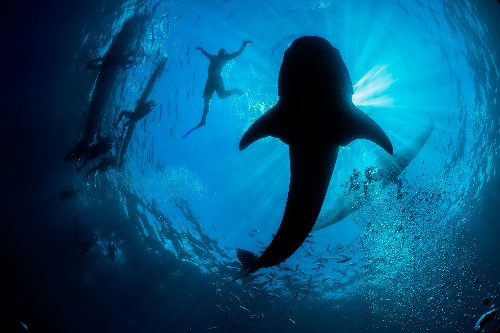 Inside the Chaotic World of Whale Shark Tourism