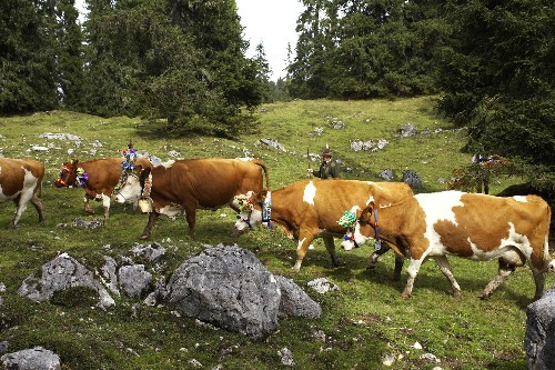 Eat, drink, and herd cattle at this Austrian festival