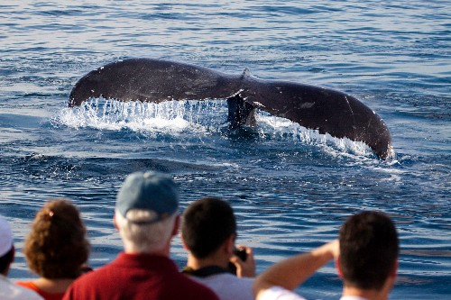 Whale watching in Japan is on the rise, even as commercial hunts are set to resume