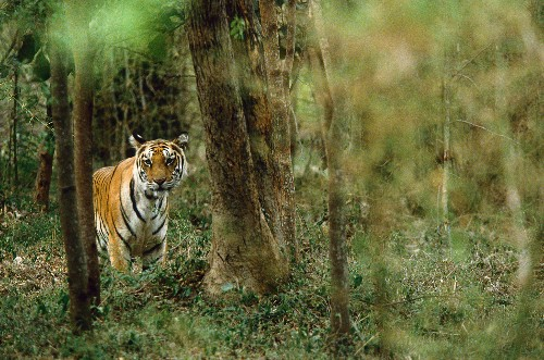 Isolated Tigers Travel Surprising Lands to Find Mates