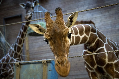 Opinion: Killing of Marius the Giraffe Exposes Myths About Zoos
