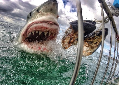 Viral Photo of Great White Shark Stirs Debate Over Cages, Baiting