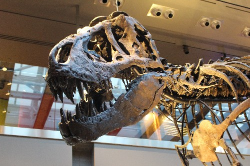 "T. rex Autopsy Goes into the ""Belly of the Beast"" and Beyond"