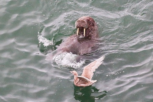 Walruses Found Using Birds as Toys for First Time