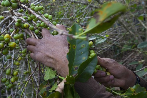 Fungus, Climate Change Threatening Big Part of Global Coffee Supply