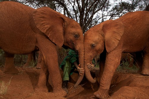 Cancer Rarely Strikes Elephants. New Clues Suggest Why.