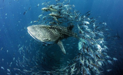 Whale Shark in Thailand Photo by Dan CHARITY — National Geographic Your Shot
