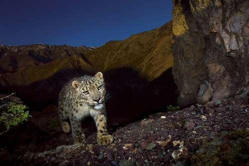 More Snow Leopards Poached, Even as Bold Plan Fights Decline