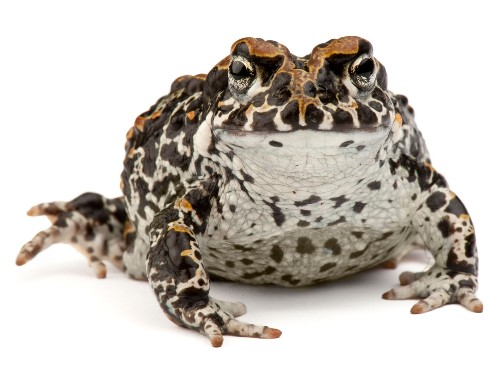 This toad's sex life hinges on finding the perfect pool