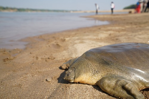 In Cambodia, giant turtles come back from the brink