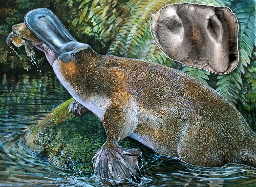 Giant Platypus Found, Shakes Up Evolutionary Tree