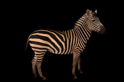 Do Zebras Have Stripes On Their Skin?