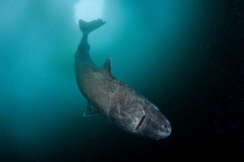 The Strange and Gruesome Story of the Greenland Shark, the Longest-Living Vertebrate on Earth