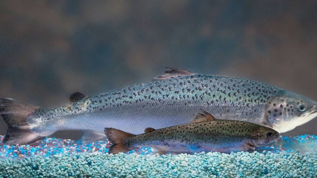 Genetically Engineered Fish and the Strangeness of American Salmon